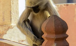 India_122512_Meg_Hauge_monkey